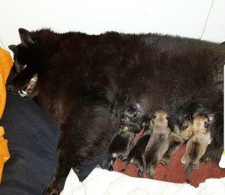 Bästa mamma Bezza med sina valpar i R-kullen.